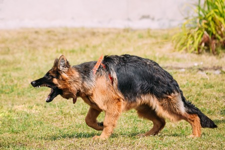 Anger Aggressive Long-Haired Purebred German Shepherd Adult Dog Or Alsatian Wolf Dog On Lead Going To Attack With Widely Opened Mouth Jaws. Stock Photo