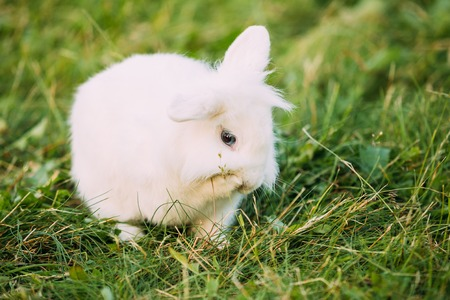 leporidae: Close Blue Eyes Lop-Eared Dwarf Snow-White Mixed Breed Rabbit Bunny Stock Photo