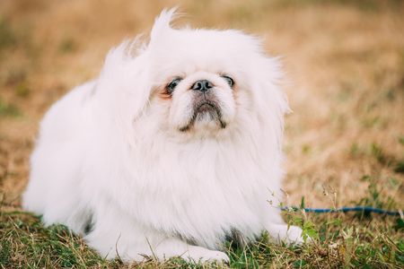pure bred: Young White Pekingese Pekinese Looking Up