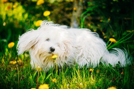 White Bichon Bolognese Dog Sitting In Green Grass