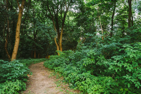road and path through: Forest Path Going  Through Growth Of Small-Flowered Touch-Me-Not