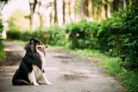 lassie: Scottish Rough Long-Haired Collie Lassie Adult Dog Sitting On Park Alley