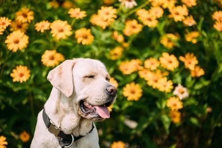boca cerrada: Smiling With Close Eyes Yellow Golden Labrador Female Dog In Sit