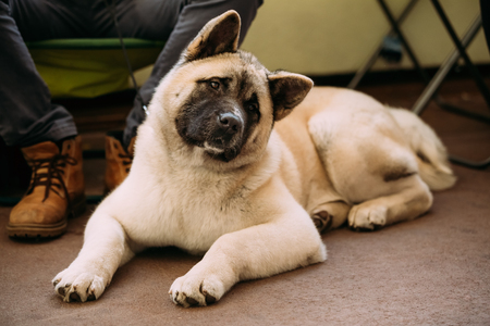 pure bred: Funny Curious Cute American Akita Dog