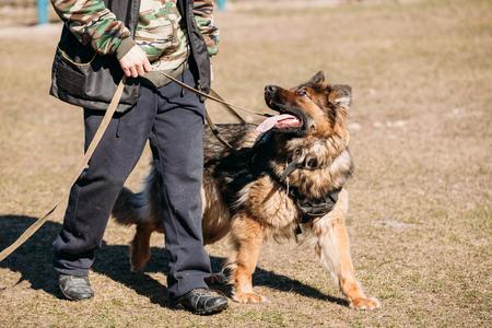 obedience: German Shepherd On Obedience Dog Training. Alsatian Wolf Dog