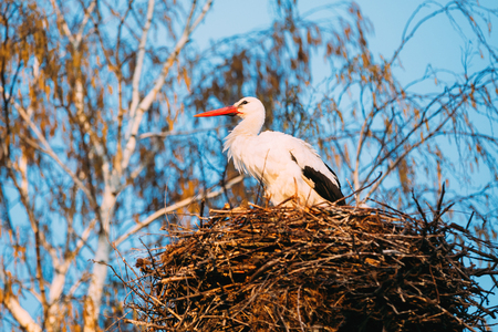 Adult European White Stork Standing In Nest Near Bare Spring Bir