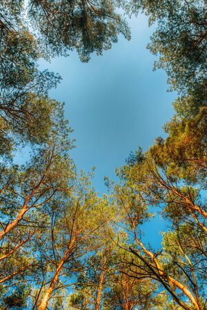 Canopy Of Pines Trees. Upper Branches Of Woods In Coniferous Forest