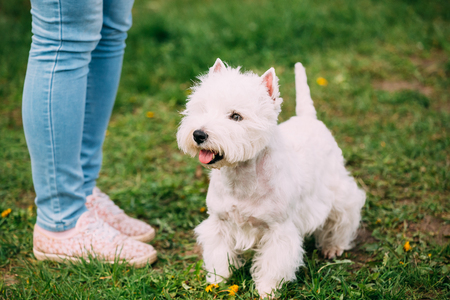 West Highland White Terrier Dog Sitting At Feet Of Owner In Green Grass