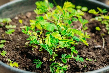 Green Sprouts Of Mimosa Pudica Growing From Soil In Pot In Green