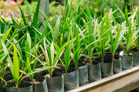 hothouse: Green Sprouts Of Plant Palm Tree With Leaf, Leaves Growing From Soil In Pot In Greenhouse Or Hothouse.