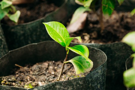Green Sprouts Of Tree With Leaf, Leaves Growing From Soil In Potts In Greenhouse Or Hothouse. Spring, Concept Of New Life.