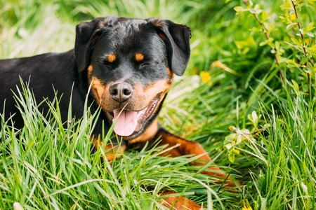 rott: Funny Hapy Young Black Rottweiler Metzgerhund Puppy Dog Smiling In Green Grass In Summer Park Outdoor.