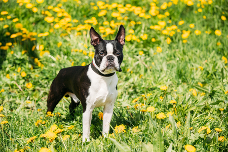 boston bull terrier: Funny Young Boston Bull Terrier Dog Outdoor In Green Spring Meadow