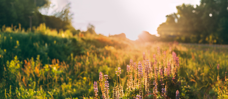 Panoramic View Of Bloomy Glade Of Wild Flowers Lupine On Summer Stock Photo