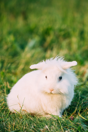 lop eared: Dwarf Lop-Eared Decorative Miniature White Fluffy Rabbit Bunny