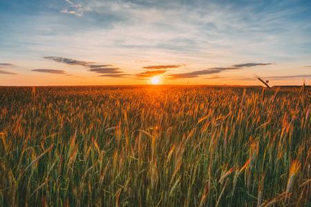 spica: Eared Wheat Field, Summer Cloudy Sky In Sunset Dawn Sunrise. Sky Stock Photo