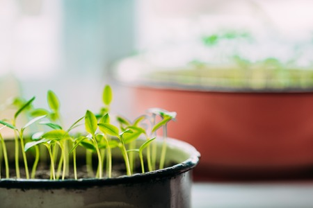 Young Sprouts With Green Leaf Or Leaves Growing From Soil. Spring