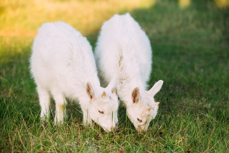 baby goat: Kid Goat Grazing On Green Summer Grass On A Sunny Day. Stock Photo