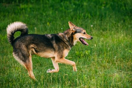 Mixed Breed Medium Size Three Legged Dog Play Outdoor In Summer