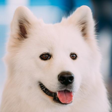 Happy White Samoyed Bjelkier Dog