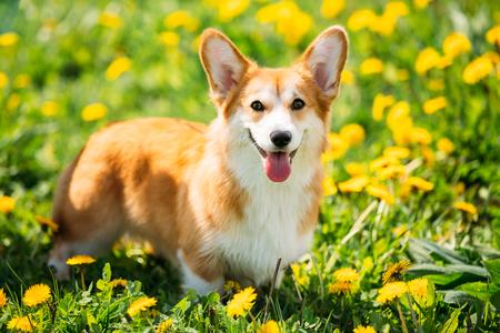 Pembroke Welsh Corgi Dog Puppy Playing In Green Summer Grass. Stock Photo