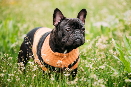 pure bred: Young Black French Bulldog Dog In Green Grass Stock Photo