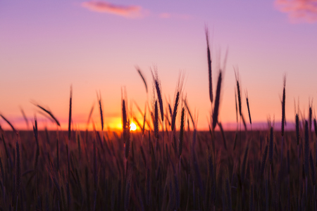 Silhouettes Of Ripe Wheat Against The Background Of Scenic Country