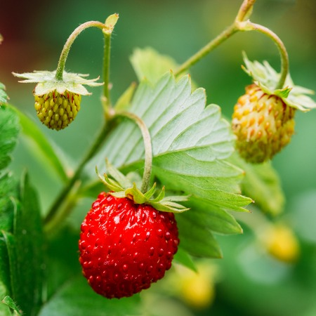 Red Wild Strawberries, Wild Strawberry. Growing Organic Wild Str