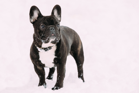 Black French Bulldog Dog Playing Outdoor In Snow At Winter Day Stock Photo