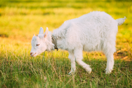 Kid Goat Grazes On Green Summer Grass On A Sunny Day. Goat Eating Stock Photo