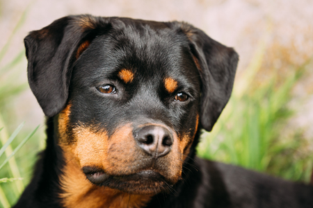 rott: Young Black Rottweiler Metzgerhund Puppy Dog Play In Green Grass Stock Photo