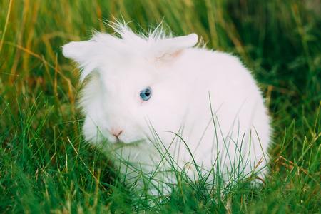 Close Cute Dwarf Decorative Miniature White Fluffy Rabbit Bunny Stock Photo
