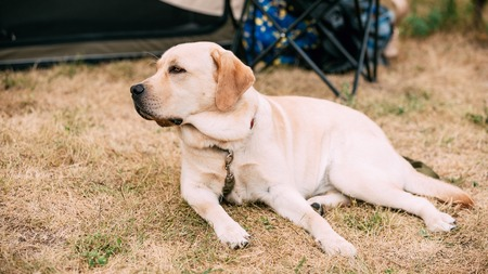 pure bred: Labrador Dog Lying In Park Outdoor