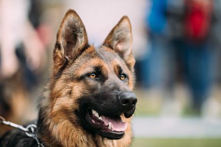 German Shepherd Dog Close Up. Alsatian Wolf Dog Or German Shepherd
