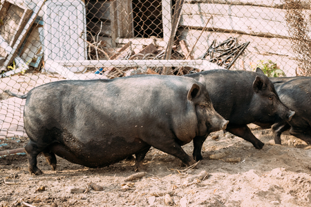 principally: Household A Large Black Pigs In Farm. Pig Farming Is Raising And Breeding Of Domestic Pigs. It Is A Branch Of Animal Husbandry. Pigs Are Raised Principally As Food pork, Bacon, Gammon .