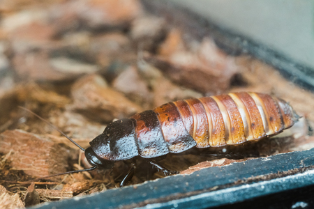 The Madagascar Hissing Cockroach Or Gromphadorhina Portentosa, Aka The Hissing Cockroach Or Simply Hisser, Is One Of The Largest Species Of Cockroach. They Are Native To The Island Of Madagascar. Фото со стока
