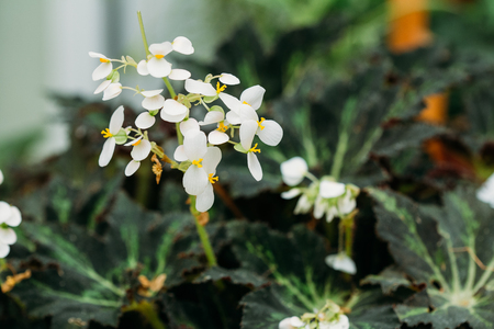 putz: Green Leaves And Flower Of Plant Begonia Rex Putz, Commonly Known As King Begonia, Rex Begonia, Is A Rhizomatous Perennial From North India. It Is A Parent Of The Rex-cultorum Begonias.