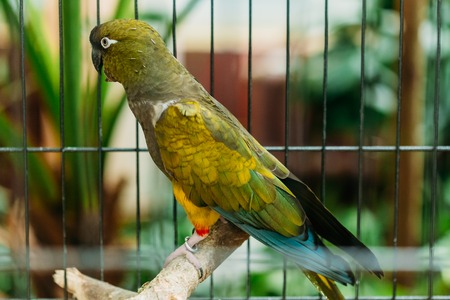 Burrowing Parrot Or Cyanoliseus Patagonus. It Is Also Known As The Patagonian Conure And Burrowing Parakeet.