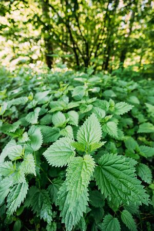 The Twigs Of Wild Nettle, Stinging Nettle Or Urtica Dioica In Summer Spring Meadow Stock Photo