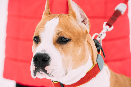 Portrait Of Beautiful Dog American Staffordshire Terrier