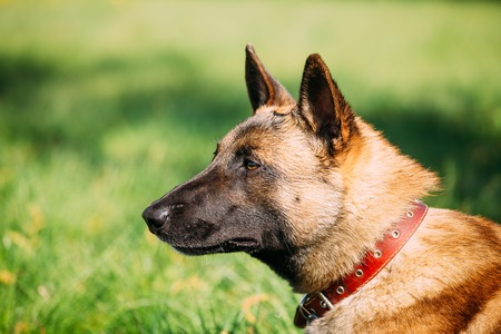 Malinois Dog Sit Outdoors In Green Grass Stock Photo