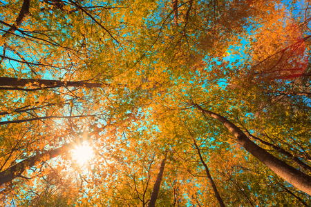 Autumn Sun Shining Through Canopy Of Tall Maple Trees. Upper Branches Of Tree With Yellow Orange Colors Foliage.