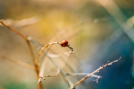 Red Ladybird, Ladybug, And Lady Beetle Or Coccinellidae Beetle Sitting On Dry Branch At Early Spring. Sunny Day. Coccinella Septempunctata