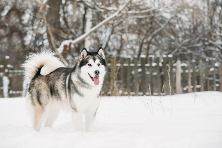 Alaskan Malamute Playing Outdoor In Snow, Winter Season. Playful Pets Reklamní fotografie
