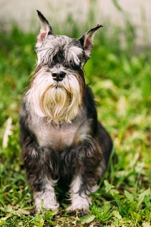 Miniature Schnauzer Dog Or Zwergschnauzer Sitting In Green Grass