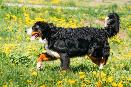 Bernese Mountain Dog Berner Sennenhund Play Outdoor In Green Spring Stock Photo