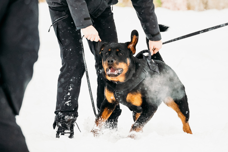 rott: Training Of Rottweiler Metzgerhund Adult Dog. Attack And Defence Stock Photo