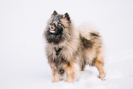 Young Keeshond, Keeshonden Dog Spelen In Snow, Winter Stockfoto