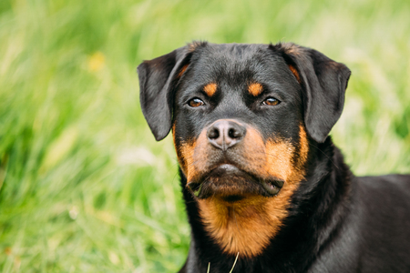 Young Black Rottweiler Metzgerhund Puppy Dog Play In Green Grass Stock Photo