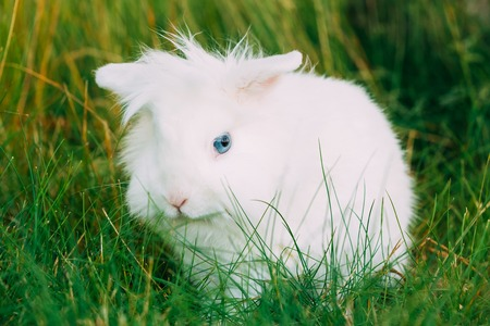 leporidae: Close Cute Dwarf Decorative Miniature White Fluffy Rabbit Bunny Stock Photo